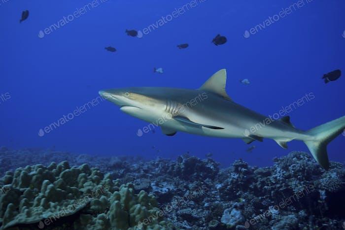 Grauer Riffhai, Carcharhinus amblyrhynchos, über einem Korallenriff in Französisch-Polynesien.