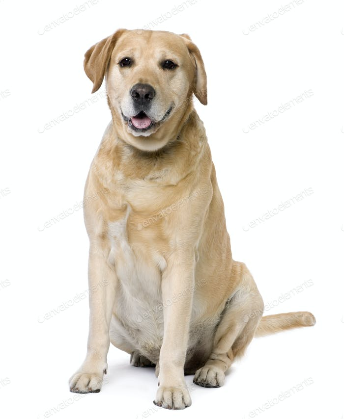 Labrador sitting (6 years old)