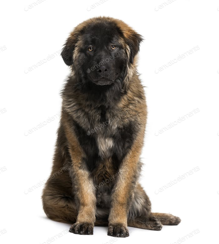 Leonberger puppy (8 months old)