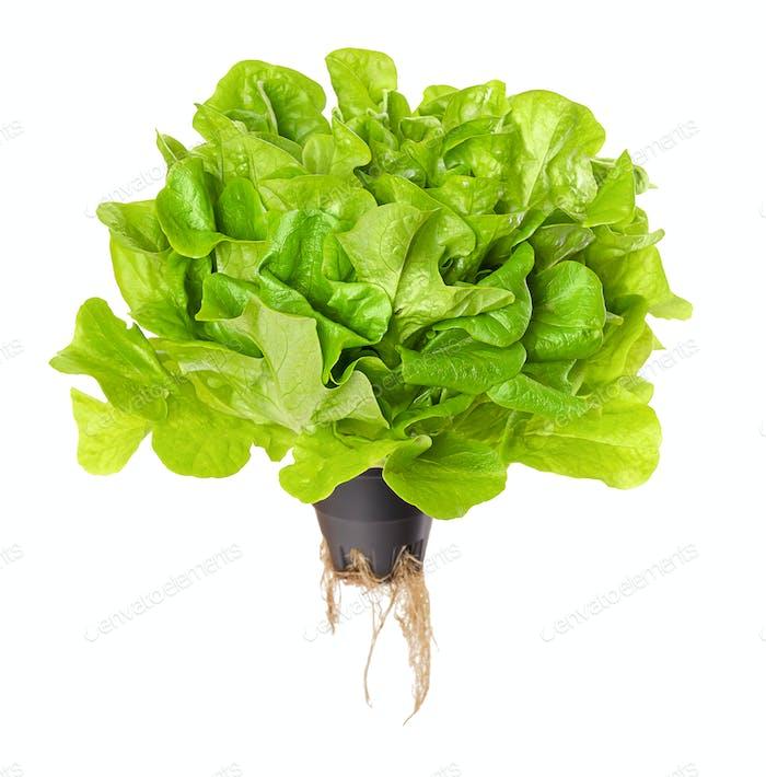 Salanova Green, living salad over white