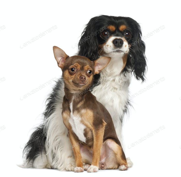 Chihuahua puppy, 6 months old and Cavalier King Charles Spaniel, 5 years old
