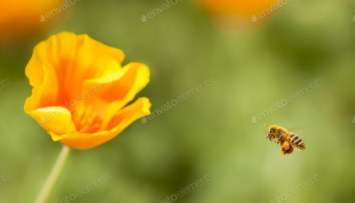Honey bee flying on Eschscholzia californica, yellow and orange