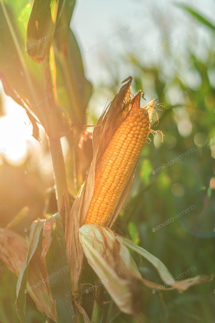 Ear of corn in the field