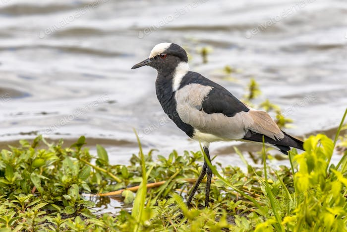 Blacksmith lapwing on bank of waterhole