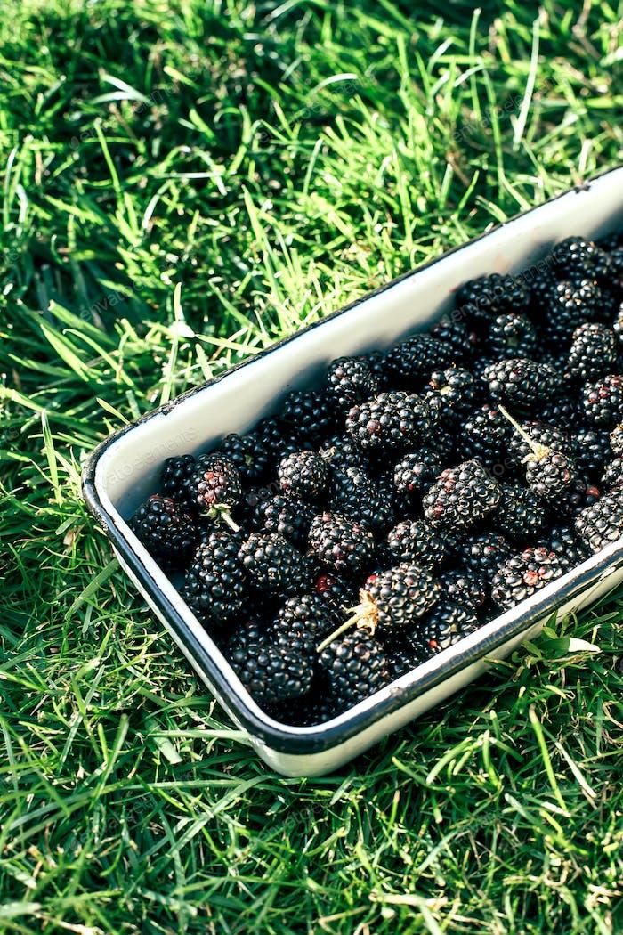 Backberrys in a metal bowl in the garden on grass. Summer harvest