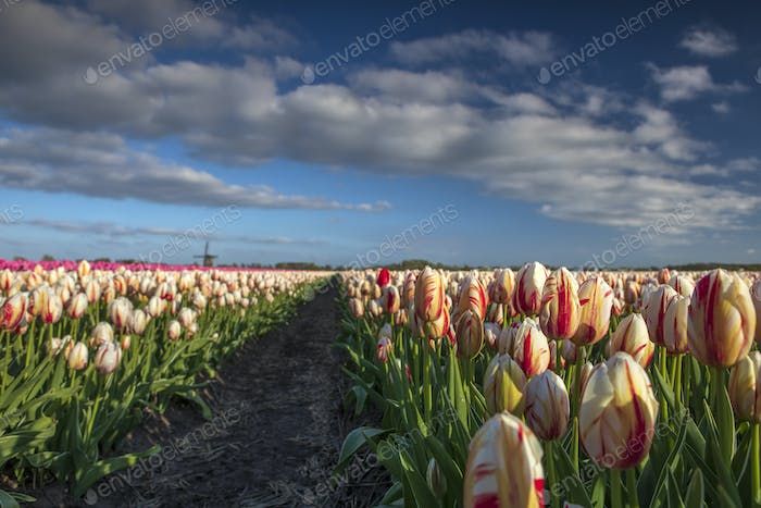 beautiful white and red tulips on field with windmill