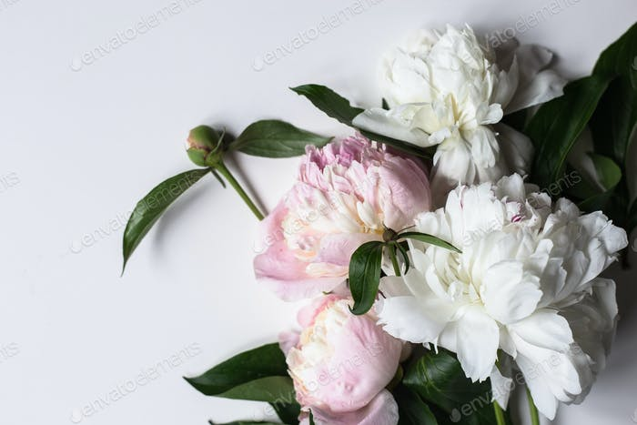 Closeup of beautiful pink and white Peonie flower on light background