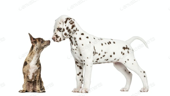 Chihuahua Pinscher sitting and dalmatian puppy sniffing each other