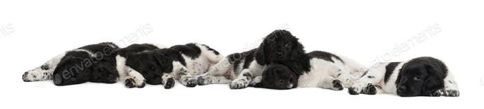 Group of Stabyhoun puppies lying and resting