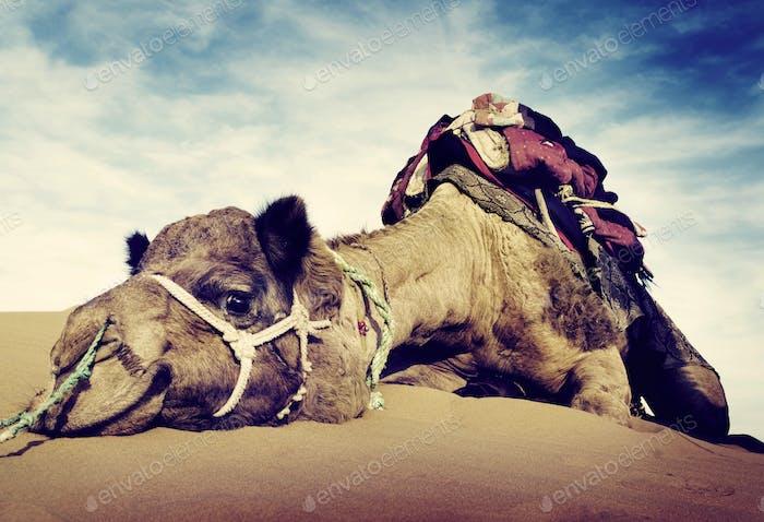 Animal Kamel Wüste Ruhen Konzept
