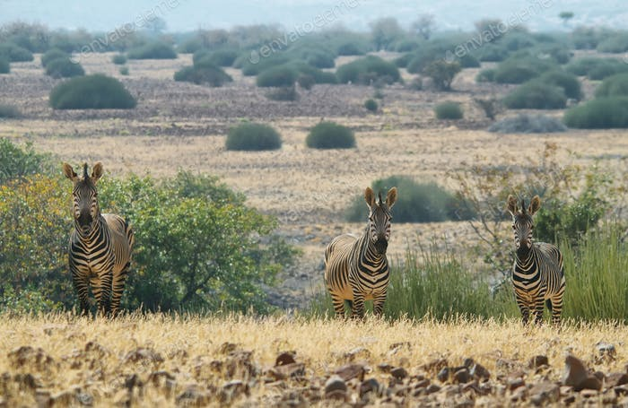 Three zebras looking at me
