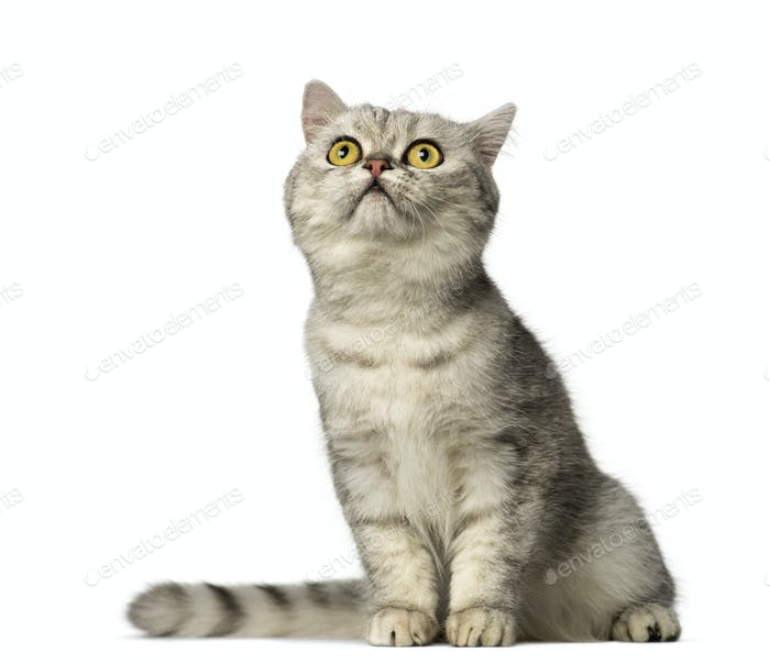 British Shorthair kitten sitting and looking up