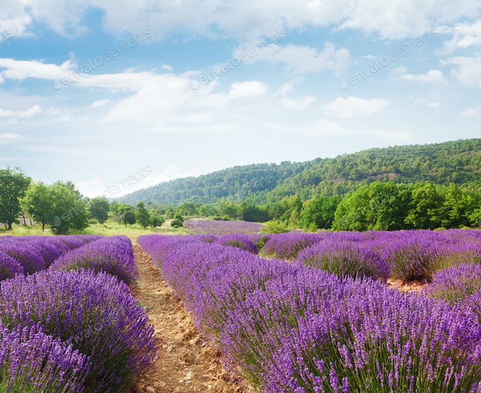 French blooming lavender field