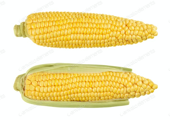 Two husked cobs of sweet corn, isolated, over white
