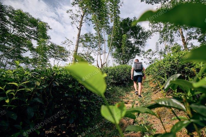 Viajero en plantación de té