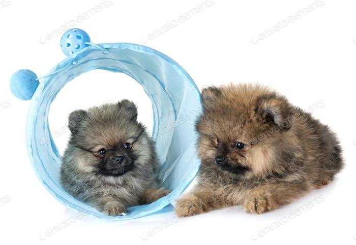 puppies pomeranian in studio