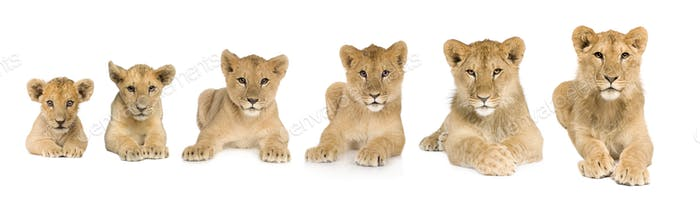 lion cub growing from 3 to 9 months in front of a white background