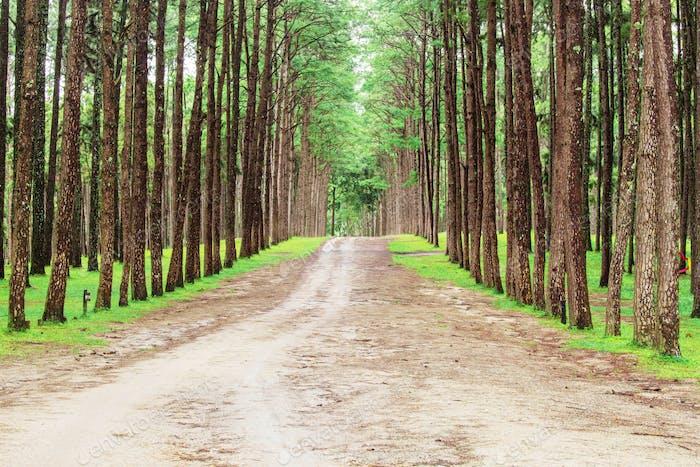 Weg zum Kiefernwald