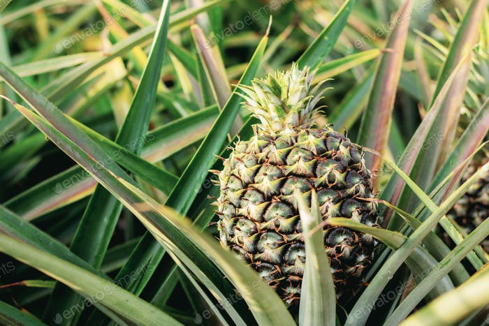 Pineapple on plantation