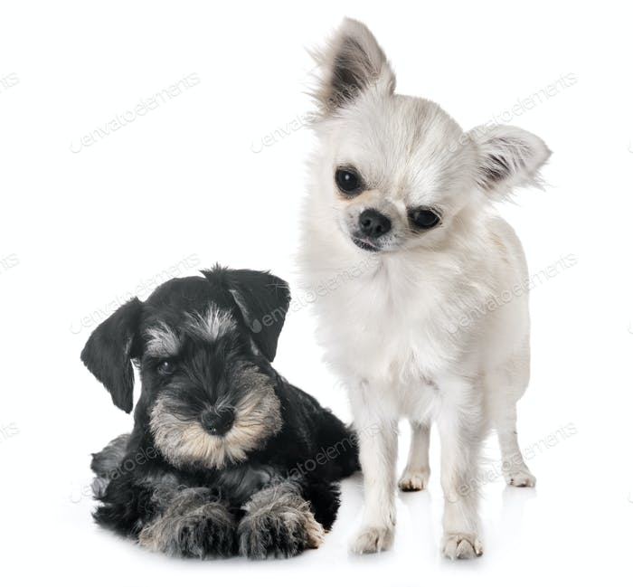 puppy miniature schnauzer and chihuahua