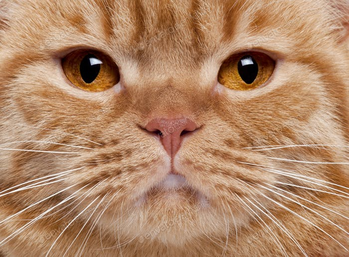 Close-up of British Shorthair cat's face, 3 years old