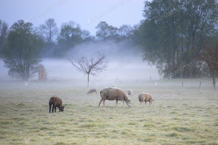 sheep graze on misty pasture