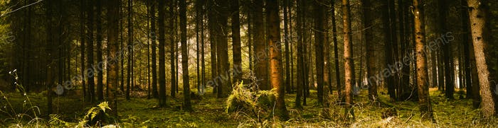 Green dark and moody forest panorama with trunks of trees covered with a moss