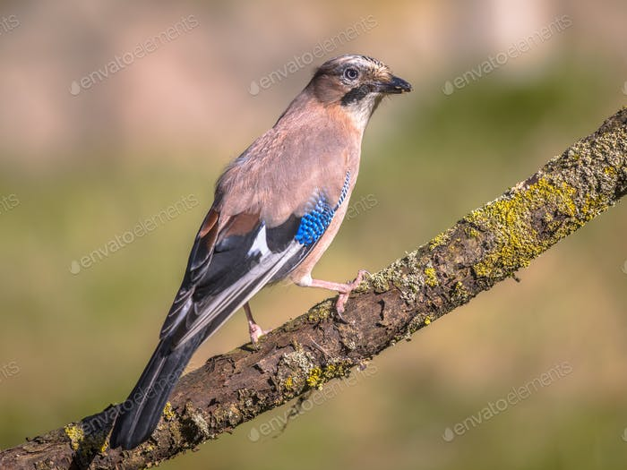 Eurasian jay on branch