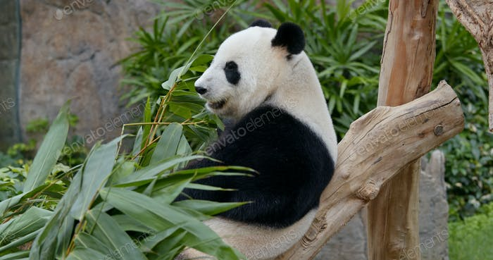 Panda eat green bamboo