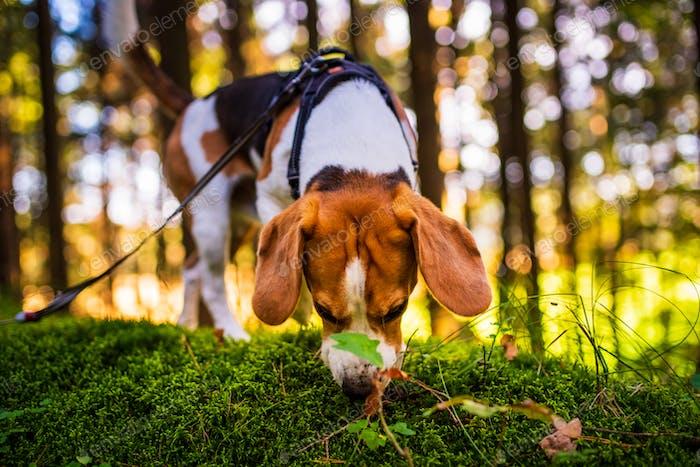 Der Beagle-Hund im sonnigen Herbstwald. Alarmierte Huond auf der Suche nach Duft und dem Wald lauschen