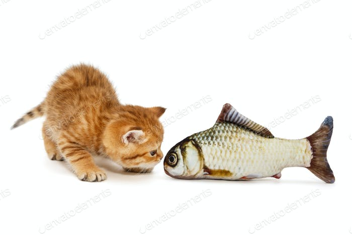 Little kitty and  fish carp