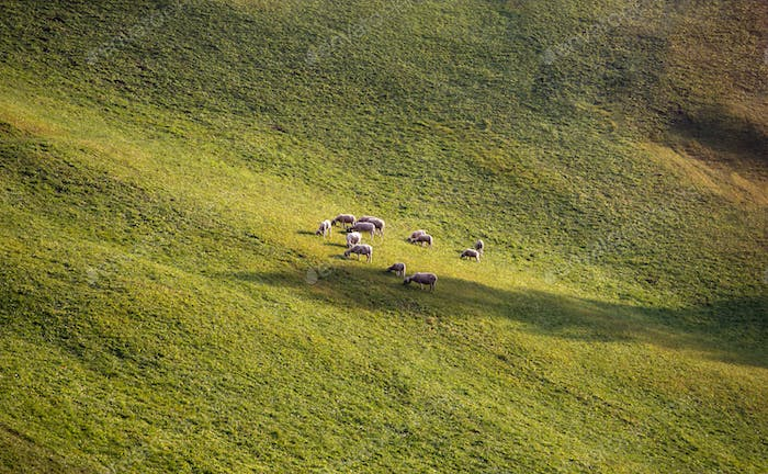 Flock of Sheep Grazing a Green Field