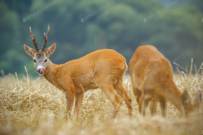 Roe deer, capreolus capreolus. couple during matting season