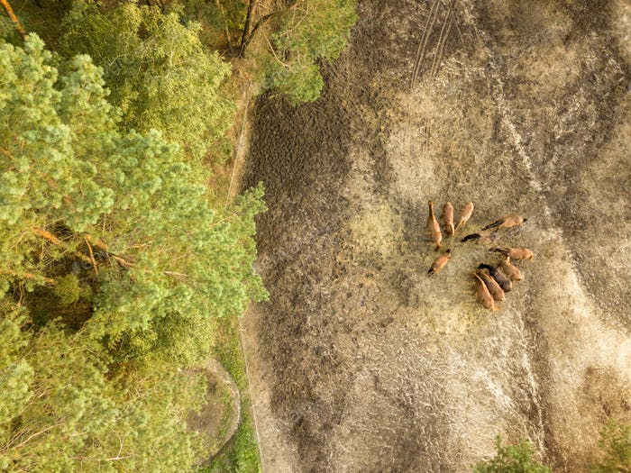 Aerial view from the drone of a small herd of horses for walking near the forest