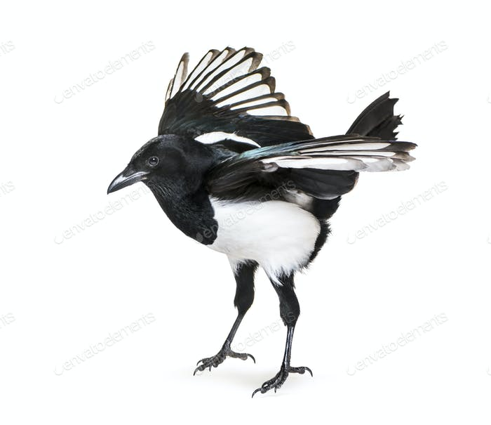 Flying Common Magpie, Pica pica, taking off, in front of white background