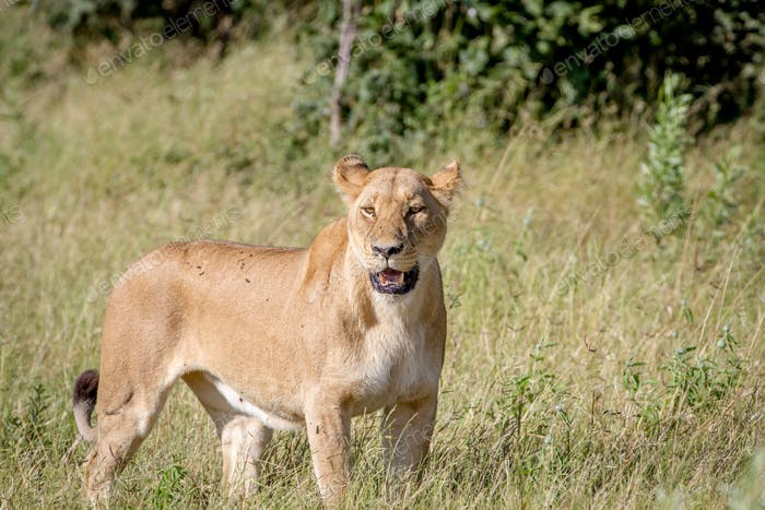 Female Lion standing in the grass.