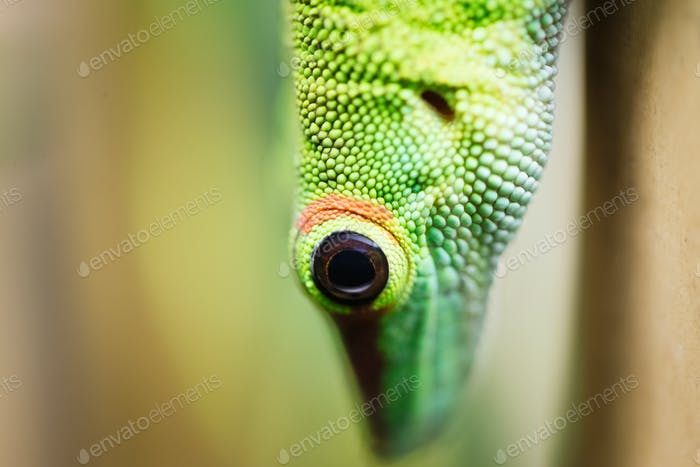 Close up green lizard eye