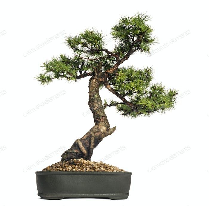 Larch bonsai tree, Larix, isolated on white