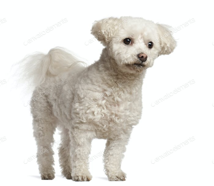 Bichon Frisé, 7 years old, standing against white background