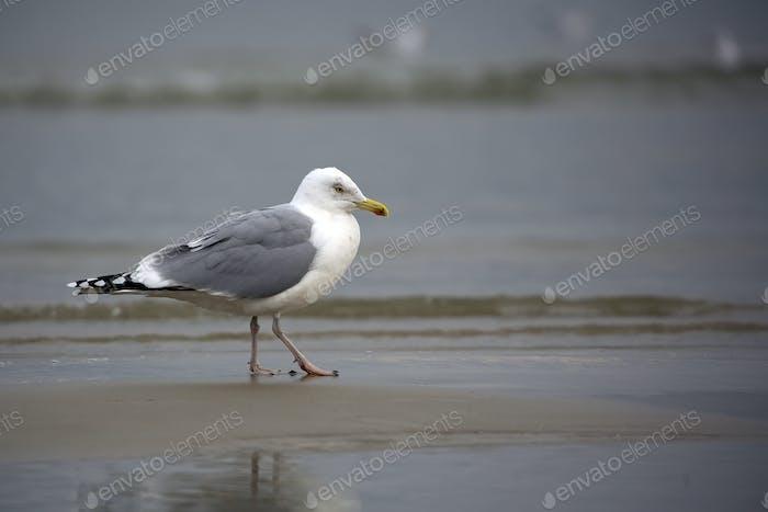 Gull in the wild