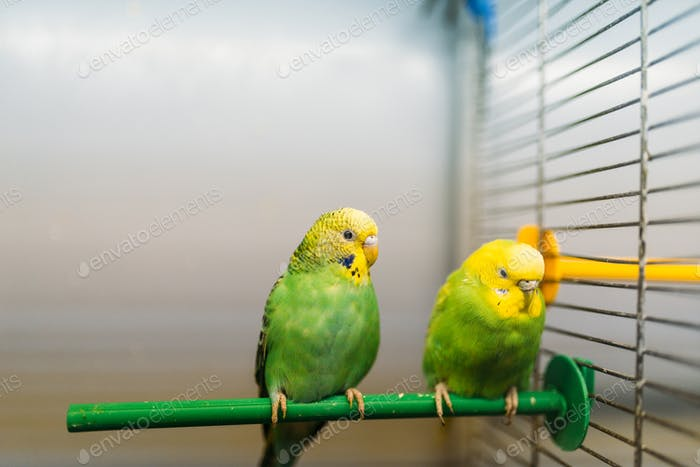 Two parrots sitting on a stick in pet shop