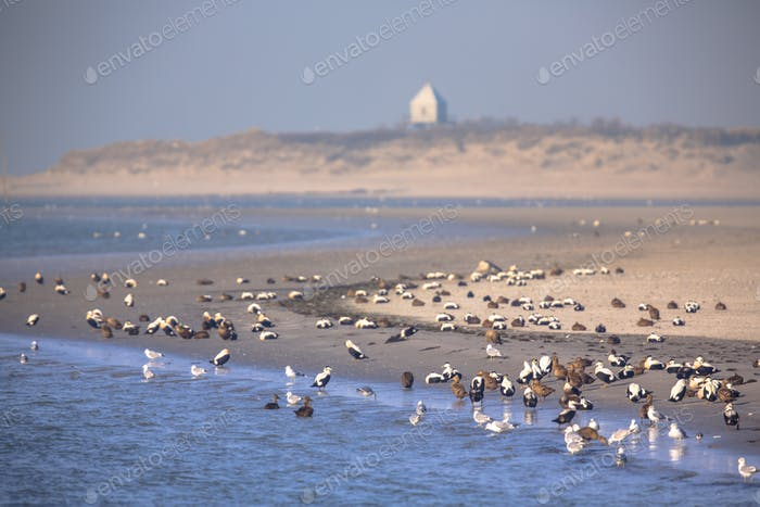 Birds on the shore of Rottumerplaat