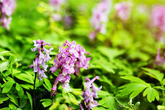 lila Blumen in wilder Natur
