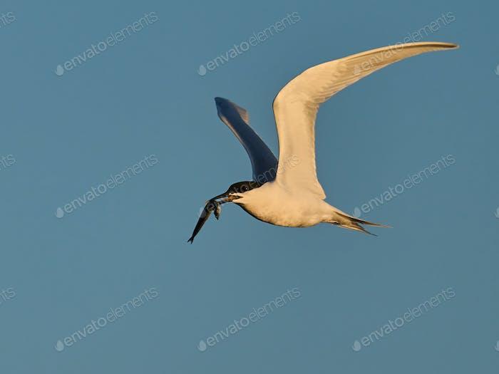 Sandwich tern (Thalasseus sandvicensis)
