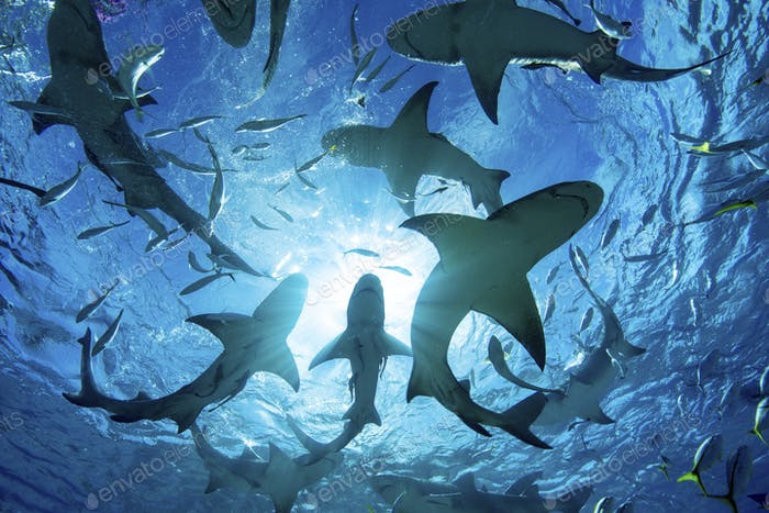 Silhouette of circling sharks