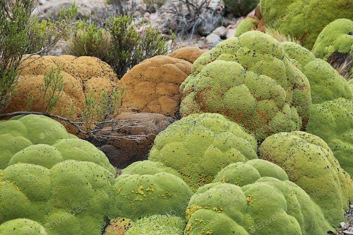 Yareta plant (Azorella compacta) in salar de surire national park