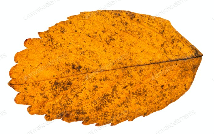 autumn yellow leaf of dog rose plant isolated