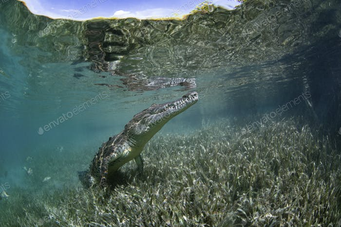 A crocodile in a nature reserve, underwater, Crocylus acutus
