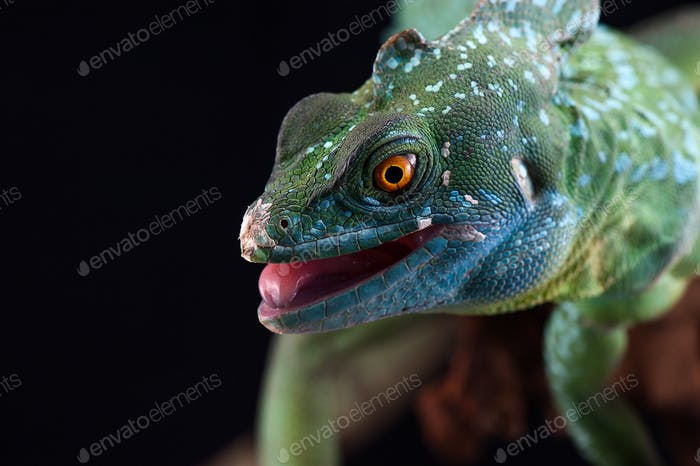 The common basilisk isolated on black background