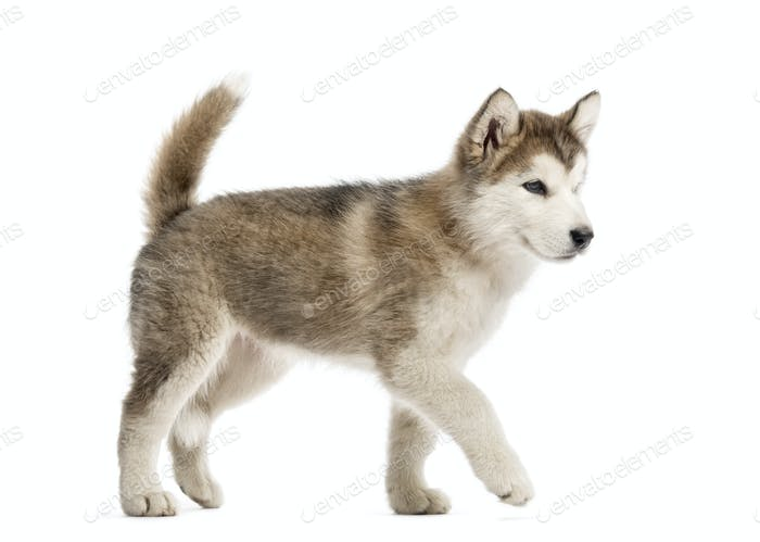 Alaskan Malamute puppy walking isolated on white